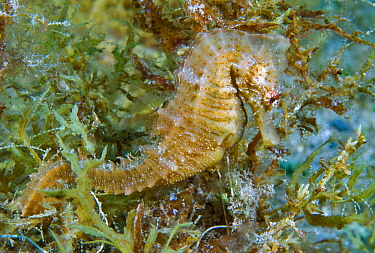 Short-snouted seahorse (Hippocampus hippocampus). Tenerife, Canary Islands.