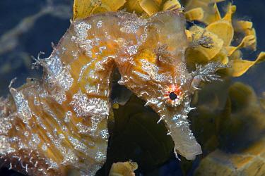 Short-snouted seahorse (Hippocampus hippocampus) portrait. Tenerife, Canary Islands.