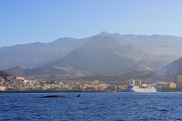Bryde's whale (Balaenoptera brydei) fin at surface in coastal waters, coastal resort and hills in background. Punta Rasca, Tenerife, Canary Islands.