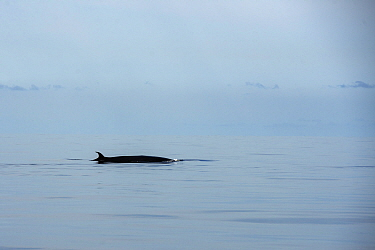 Bryde's whale (Balaenoptera brydei) fin at surface. Punta Rasca, Tenerife, Canary Islands.