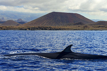 Bryde's whale (Balaenoptera brydei) fin at surface in coastal waters, volcano in background. Punta Rasca, Tenerife, Canary Islands.
