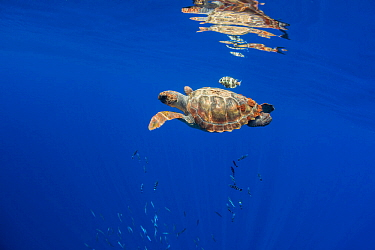 Loggerhead sea turtle (Caretta caretta), reflected in water surface.Tenerife, Canary Islands.