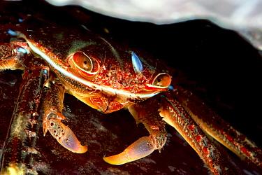 Sally lightfoot crab (Percnon gibbesi). Tenerife, Canary Islands.