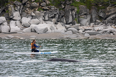 Woman paddleboarding close to Bowhead whale (Balaena mysticetus). Vrangel Bay, Primorsky Krai, Russia. August 2019.