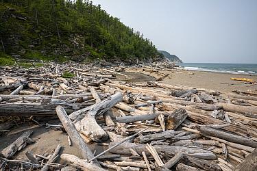 Driftwood on beach, Vrangel Bay, Primorsky Krai, Russia. August 2019.