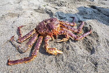 Red king crab (Paralithodes camtschaticus) on sand. Vrangel Bay, Primorsky Krai, Russia. August.