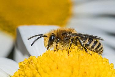 Ivy bee (Colletes hederae) feeding on Ox-eye daisy (Leucanthemum vulgare), Monmouthshire, Wales, UK. June