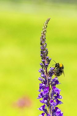 Early bumblebee(Bombus partorum) feeding on Purple toadflax (Linaria purpurea), Monmouthshire, Wales, UK. June.