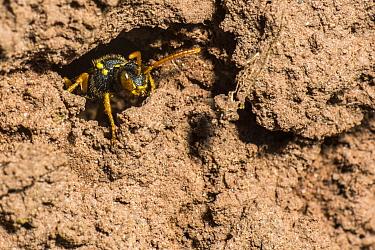 Painted nomad bee (Nomada fucata) female laying eggs in the nest burrow of Yellow legged mining bee (Andrena flavipes) larva kleptoparasitises pollen store of Andrena flavipes larve killing them, Rive...