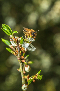 Yellow legged mining bee (Andrena flavipes) feeding on Blackthorn (Prunus spinosa) Monmouthshire, Wales, UK. April.