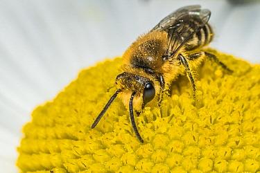 Ivy bee (Colletes hederae), feeding on Ox-eye daisy (Leucanthemum vulgare), Monmouthshire, Wales, UK. June