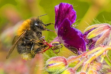 Tree bumblebee (Bombus hypnorum) (Bombus partorum),feeding on Hardy geranium (Geranium sp.), flower, Monmouthshire, Wales, UK. May.