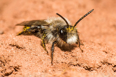 Ashy mining bee (Andrena cineraria), outside nest burrow, River Monnow, Monmouthshire, Wales, UK. April