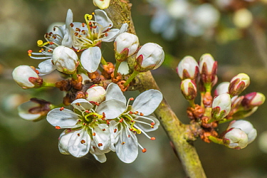 Blackthorn (Prunus spinosa) blossom, Monmouthshire, Wales, UK. April.