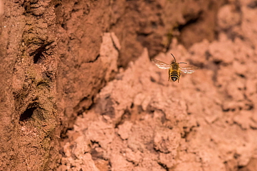 Yellow legged mining bee (Andrena flavipes) male looking for females near nest burrows in river bank, River Monnow, Monmouthshire, Wales, UK. April.