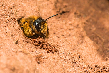 Yellow legged mining bee (Andrena flavipes) female digging nest in bank of the River Monnow, Monmouthshire, Wales, UK. April.