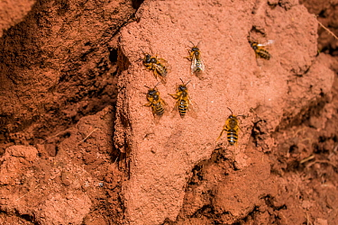 Yellow legged mining bee (Andrena flavipes) males swarming around nest burrows, waiting for females, in bank of the River Monnow, Monmouthshire, Wales, UK. April