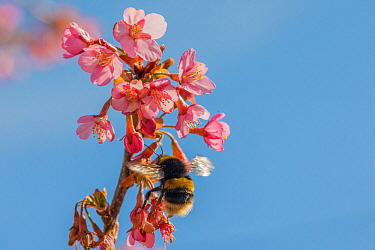 Buff tailed bumblebee (Bombus terrestris), queen feeding on Cherry blossom (Prunus sp.), Monmouthshire, Wales, UK. June