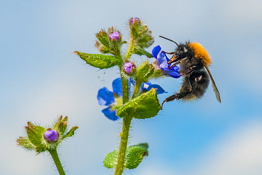 Tree bumblebee (Bombus hypnorum) feeding from Green alkanet (Pentaglottis sempervirens), Monmouthshire, Wales, UK. July