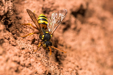 Painted nomad bee (Nomada fucata) female, kleptoparasite outside the nest burrow of Yellow legged mining bee (Andrena flavipes) where it will kill the larvae in the burrow before laying its own eggs w...