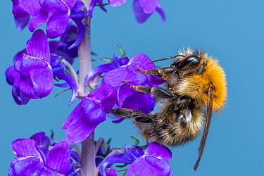 Common carder bumblebee (Bombus pascuorum) feeding on Purple toadflax (Linaria purpurea) Monmouthshire, Wales, UK April