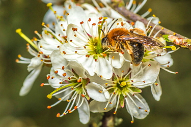 Orange tailed mining bee (Halictus rubicundus) male feeding on Blackthorn (Prunus spinosa) Monmouthshire, Wales, UK. April.