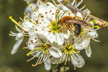 Orange tailed mining bee (Halictus rubicundus) male feeding on Blackthorn (Prunus spinosa) Monmouthshire, Wales, UK. April.