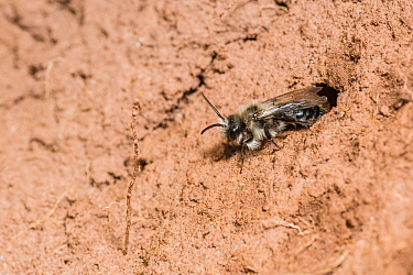 Ashy mining bee (Andrena cineraria) female outside nest burrow, Monmouthshire, Wales, UK. April