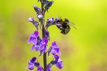Early bumblebee (Bombus partorum), feeding on Purple toadflax (Linaria purpurea), Monmouthshire, Wales, UK. June.