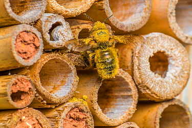 Red mason bee (Osmia bicornis) female bee bringing in pollen load for brood cell Monmouthshire, Wales, UK, May.