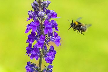 Early bumblebee (Bombus partorum) queen flying to Purple toadflax (Linaria purpurea), Monmouthshire, Wales, UK. June.