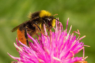 Red tailed bumblebee (Bombus lapidarius) male feeding on Spear thistle (Cirsium vulgare), Monmouthshire, Wales, UK. July.