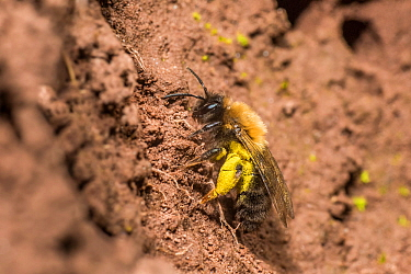 Yellow legged mining bee (Andrena flavipes) female with full pollen baskets, on bank of the River Monnow, Monmouthshire, Wales, UK. April