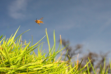 Yellow legged mining bee (Andrena flavipes) in flight, Monmouthshire, Wales, UK. April.