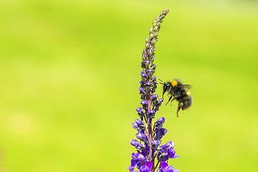 Early bumblebee (Bombus partorum) on Purple toadflax (Linaria purpurea), Monmouthshire, Wales, UK. June.