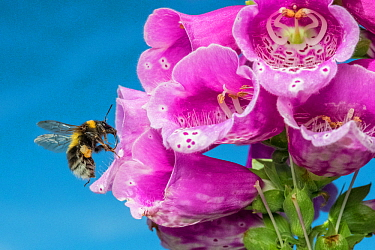 Garden bumblebee (Bombus hortorum) female flying to Foxglove (Digitalis purpurea) Monmouthshire, Wales, UK. March