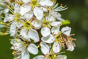 Orange tailed mining bee (Halictus rubicundus) feeding on Blackthorn (Prunus spinosa) Monmouthshire, Wales, UK. April.