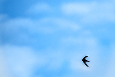 Swift (Apus apus) in flight with blue cloudy sky, Monmouthshire, Wales, UK. April