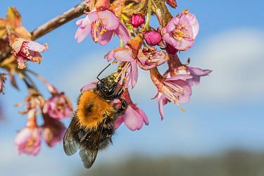 Tree bumblebee (Bombus hypnorum) feeding on Cherry blossom (Prunus sp.), Monmouthshire, Wales, UK. June