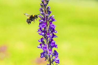 Early bumblebee (Bombus partorum), on Purple toadflax (Linaria purpurea), Monmouthshire, Wales, UK. June.