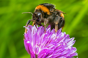 Buff tailed bumblebee (Bombus terrestris) queen feeding on Chive (Allium schoenoprasum), Monmouthshire, Wales, UK. April