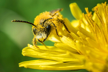Grey-patched mining bee (Andrena nitida), feeding on Dandelion (Taraxacum offinicale) Monmouthshire, Wales, UK. June