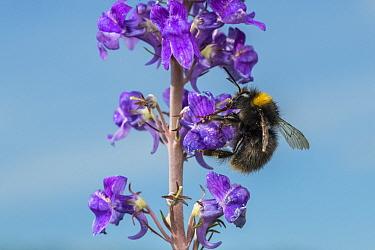 Early bumblebee (Bombus partorum) dark form on Purple toadflax (Linaria purpurea), Monmouthshire, Wales, UK. June.