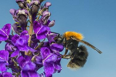 Tree bumblebee (Bombus hypnorum), on Purple toadflax (Linaria purpurea), Monmouthshire, Wales, UK. June.