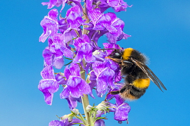 Buff tailed bumblebee (Bombus terrestris) feeding on Purple toadflax (Linaria purpurea), Monmouthshire, Wales, UK. June.