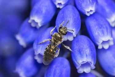 Smeathman's furrow bee (Lasioglossum smeathmanellum) Monmouthshire, Wales, UK. April