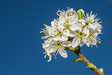 Blackthorn (Prunus spinosa), flowers, Monmouthshire, Wales, UK, April