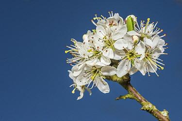 Blackthorn (Prunus spinosa), flowers, Monmouthshire, Wales, UK, April