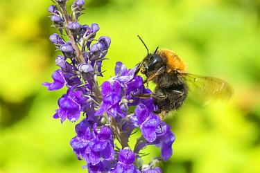 Tree bumblebee (Bombus hypnorum) on Purple toadflax (Linaria purpurea), Monmouthshire, Wales, UK. June.