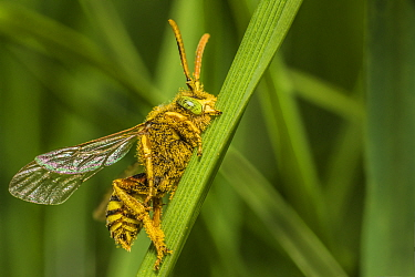 Yellow legged mining bee (Andrena flavipes) sleeping with jaws locked onto grass blade, Monmouthshire, Wales, UK. April